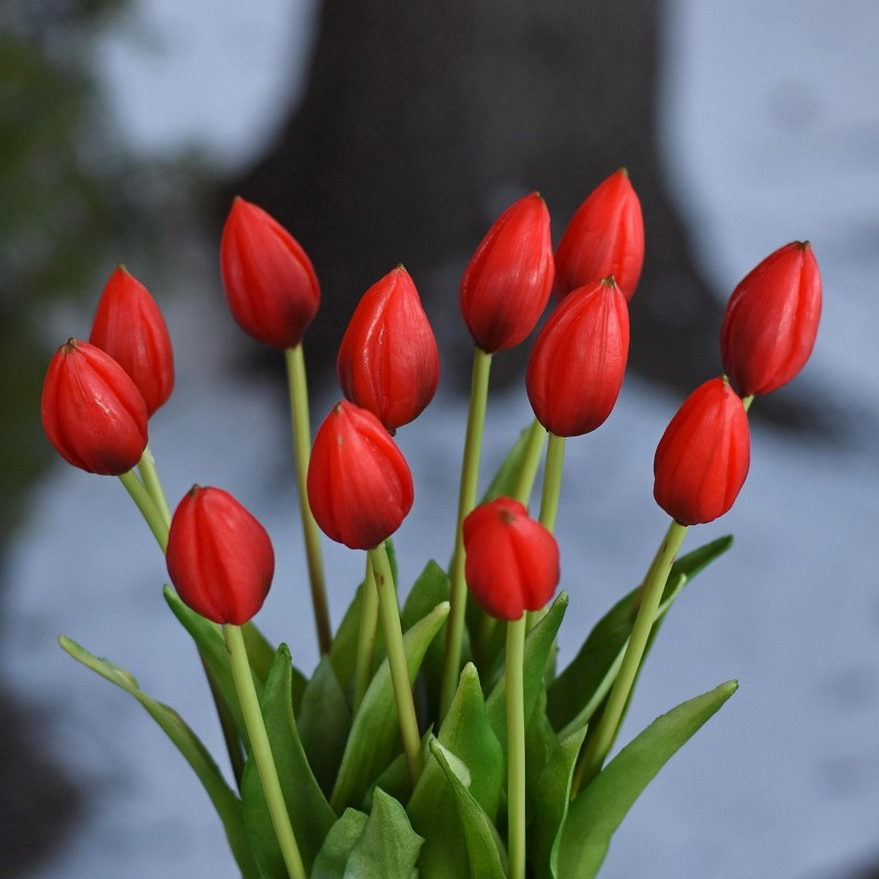 Tulipan CZERWIEŃ - 1szt....